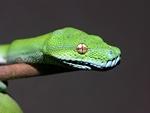 Morelia viridis
